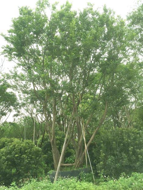 丛生朴树供应